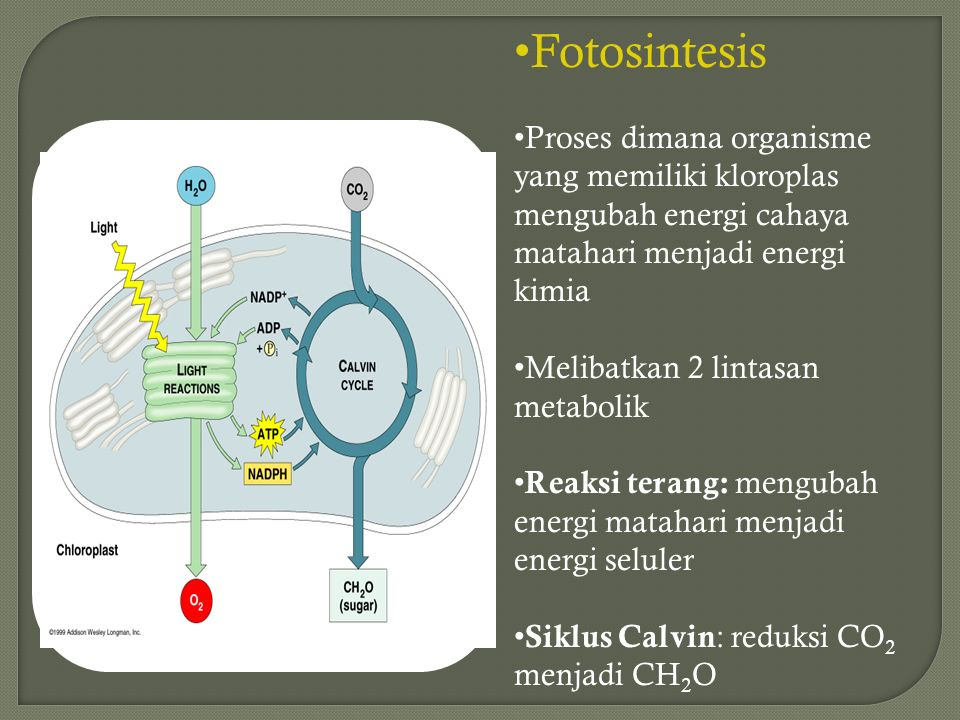 Remember what plants need…  Photosynthesis  light reactions  light H2OH2O  Calvin cycle  CO 2  sun  ground  air