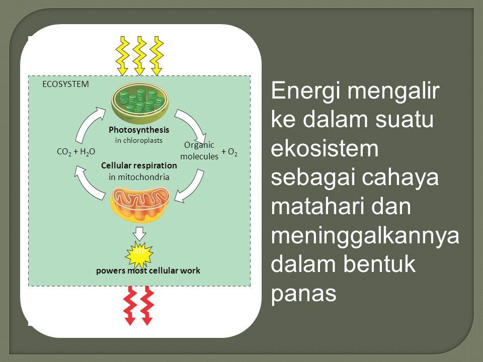 Light energy ECOSYSTEM CO 2 + H 2 O Photosynthesis in chloroplasts Cellular respiration in mitochondria Organic molecules + O 2 ATP powers most cellular work Heat energy Energi mengalir ke dalam suatu ekosistem sebagai cahaya matahari dan meninggalkannya dalam bentuk panas