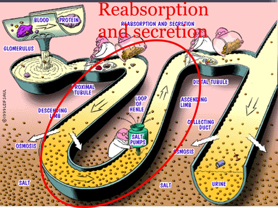 Reabsorption and secretion