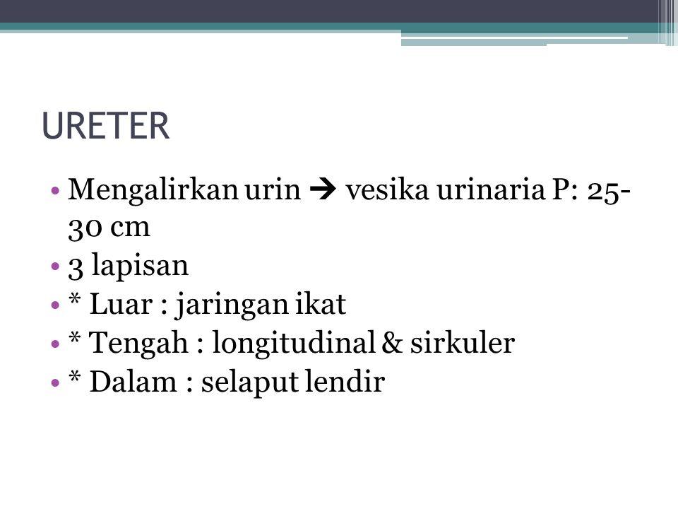 URETER Mengalirkan urin  vesika urinaria P: 25- 30 cm 3 lapisan * Luar : jaringan ikat * Tengah : longitudinal & sirkuler * Dalam : selaput lendir