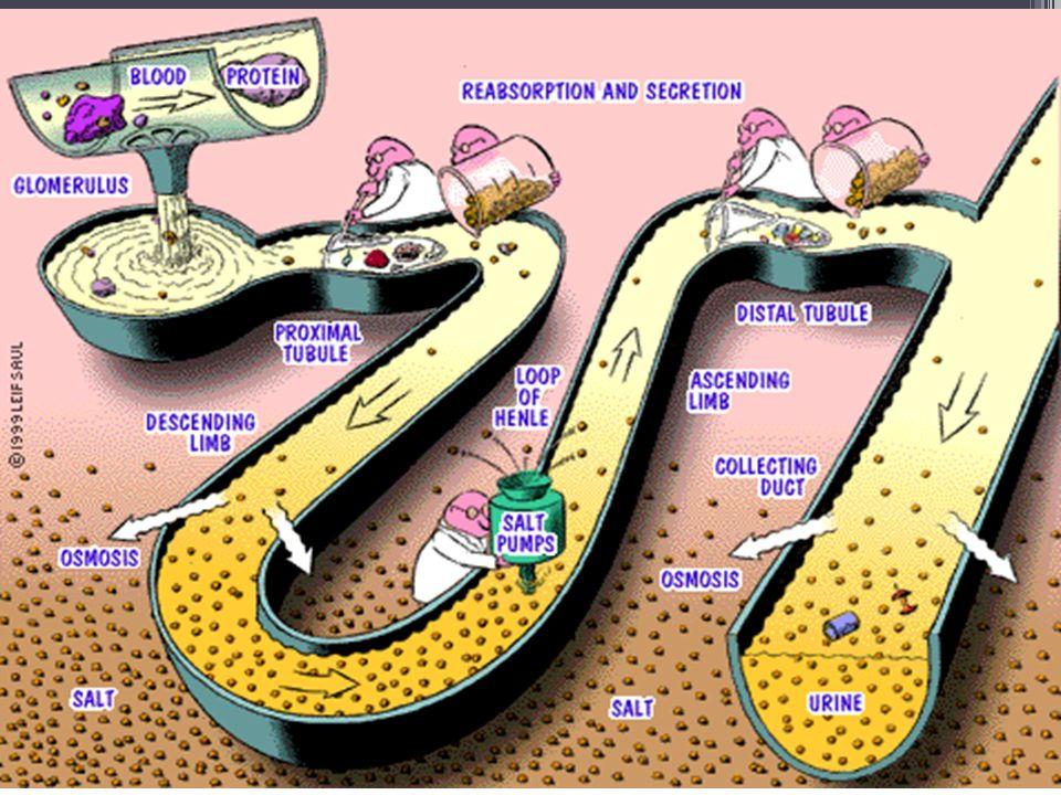 Rennin Erythropoietin: Vitamin D3: Hormones Produced by the Kidney