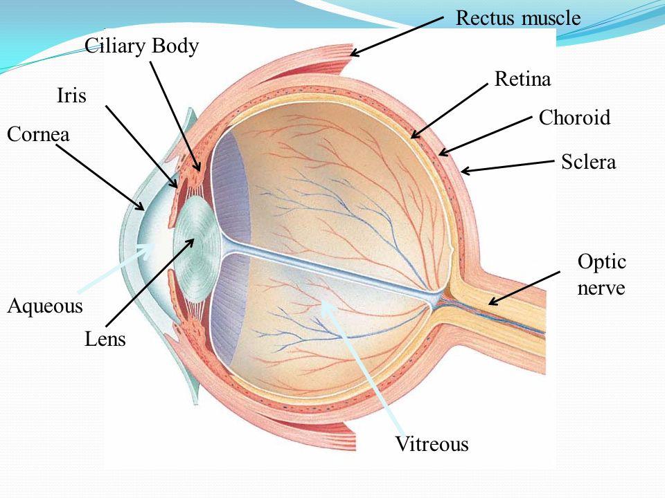 UVEA  Lapisan vaskuler mata bagian tengah, terletak antara sclera dan retina  Mengandung pigmen  Pembuluh darah berasal dari cabang arteri oftalmika dan membentuk sirkulus  Fungsi ; memberikan nutrisi pada struktur okuler