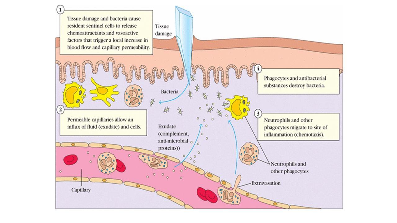 Mekanisme C3b dan C4b pada tingkat lebih rendah dapat berfungsi sebagai opsonin yaitu mereka dapat menempelkan antigen fagosit.
