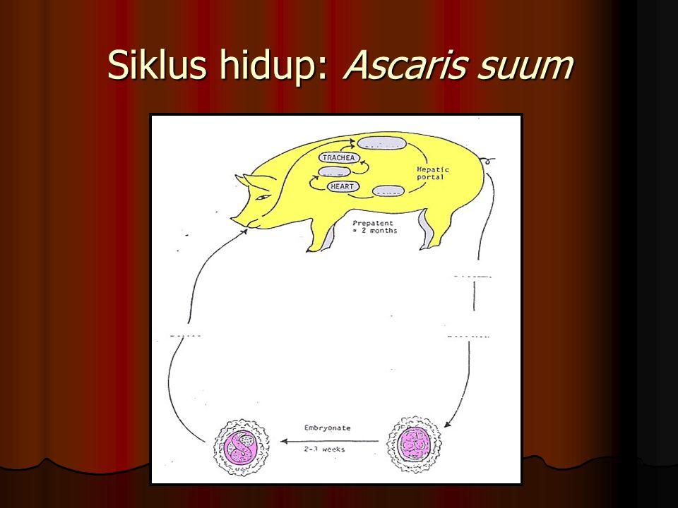 Siklus hidup: Ascaris suum