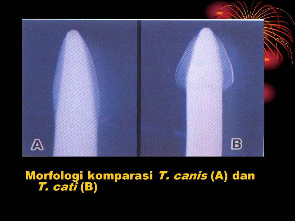 Morfologi komparasi T. canis (A) dan T. cati (B)