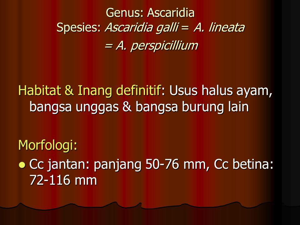 Genus: Ascaridia Spesies: Ascaridia galli = A.lineata = A.