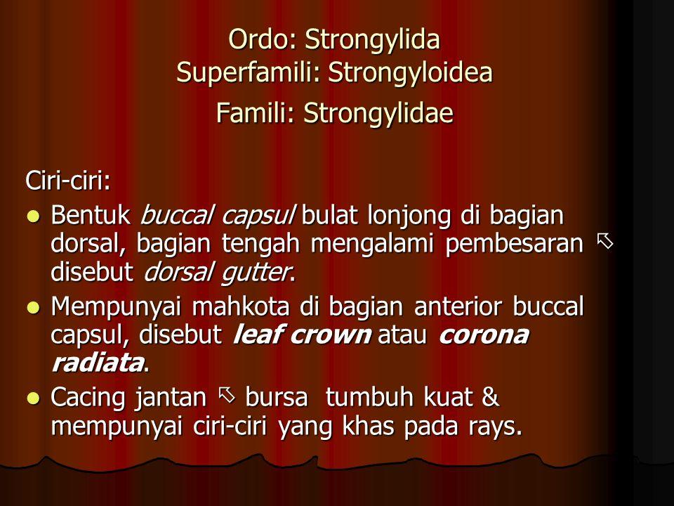 Ordo: Strongylida Superfamili: Strongyloidea Famili: Strongylidae Ciri-ciri: Bentuk buccal capsul bulat lonjong di bagian dorsal, bagian tengah mengalami pembesaran  disebut dorsal gutter.
