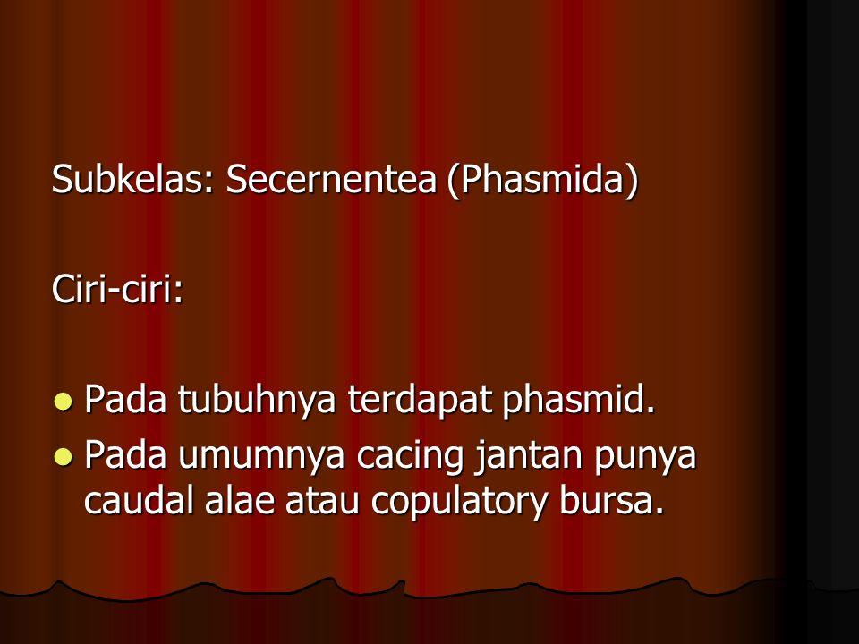 Subkelas: Secernentea (Phasmida) Ciri-ciri: Pada tubuhnya terdapat phasmid.