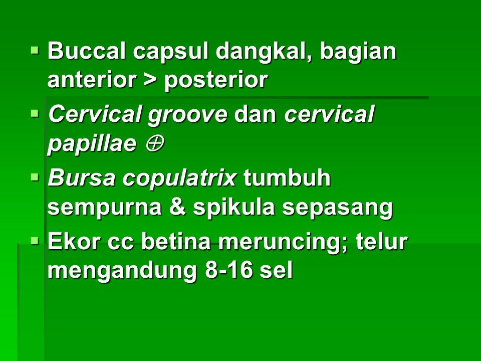  Buccal capsul dangkal, bagian anterior > posterior  Cervical groove dan cervical papillae   Bursa copulatrix tumbuh sempurna & spikula sepasang  Ekor cc betina meruncing; telur mengandung 8-16 sel