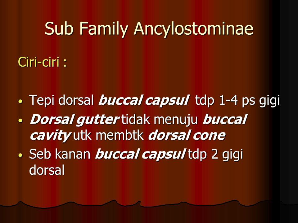 Sub Family Ancylostominae Ciri-ciri : Tepi dorsal buccal capsul tdp 1-4 ps gigi Tepi dorsal buccal capsul tdp 1-4 ps gigi Dorsal gutter tidak menuju buccal cavity utk membtk dorsal cone Dorsal gutter tidak menuju buccal cavity utk membtk dorsal cone Seb kanan buccal capsul tdp 2 gigi dorsal Seb kanan buccal capsul tdp 2 gigi dorsal
