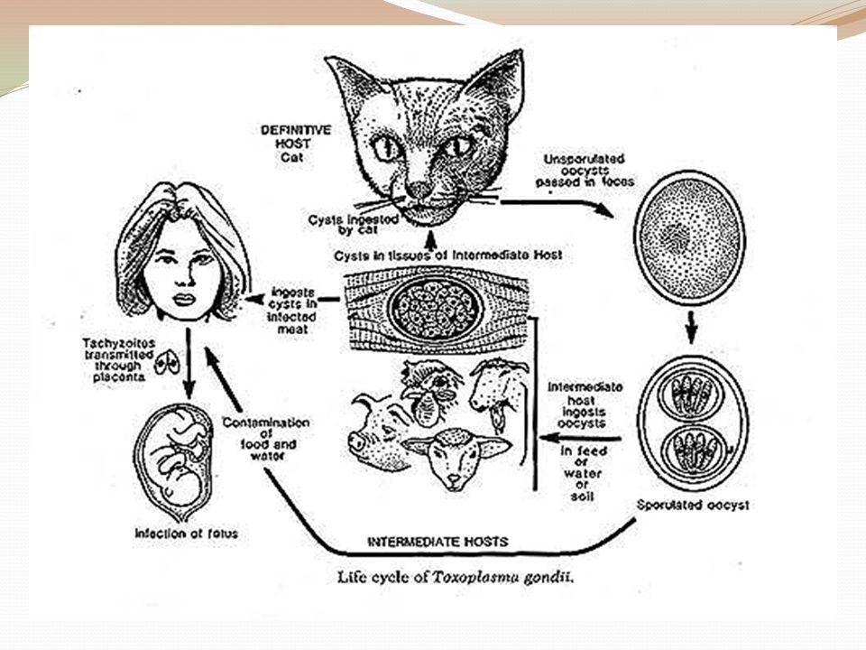 Kemungkinan infeksi CMV intrauterin bila didapatkan : Oligohidramnion, Polihidramnion Hidrops non imun Asites janin Gangguan pertumbuhan janin Mikrosefali, Ventrikulomegali serebral (hidrosefalus)