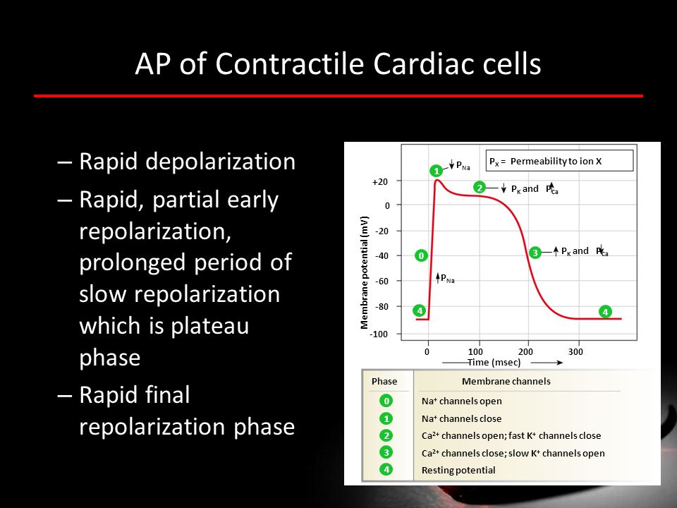 AP of Contractile Cardiac cells – Rapid depolarization – Rapid, partial early repolarization, prolonged period of slow repolarization which is plateau