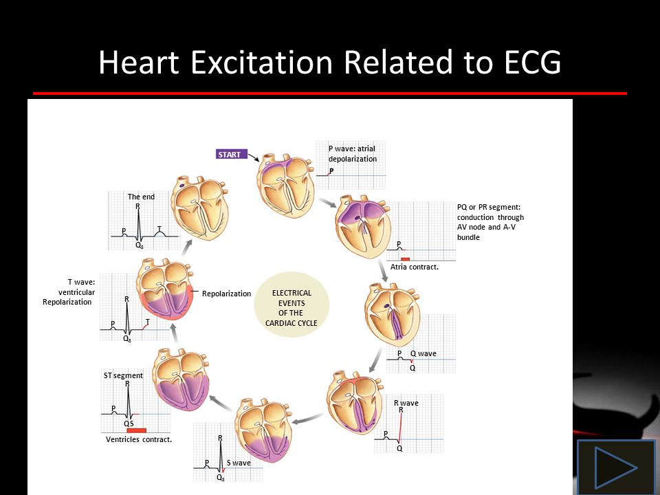 Heart Excitation Related to ECG P wave: atrial depolarization START Atria contract. PQ or PR segment: conduction through AV node and A-V bundle P P Q