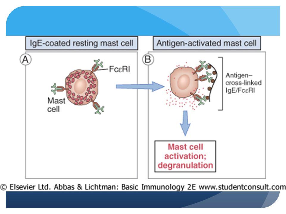 Mast cell stabilizers Ketotifen Generation II AH Sodium cromoglycate B 2 agonist + phosphodiesterase inhibitor combination