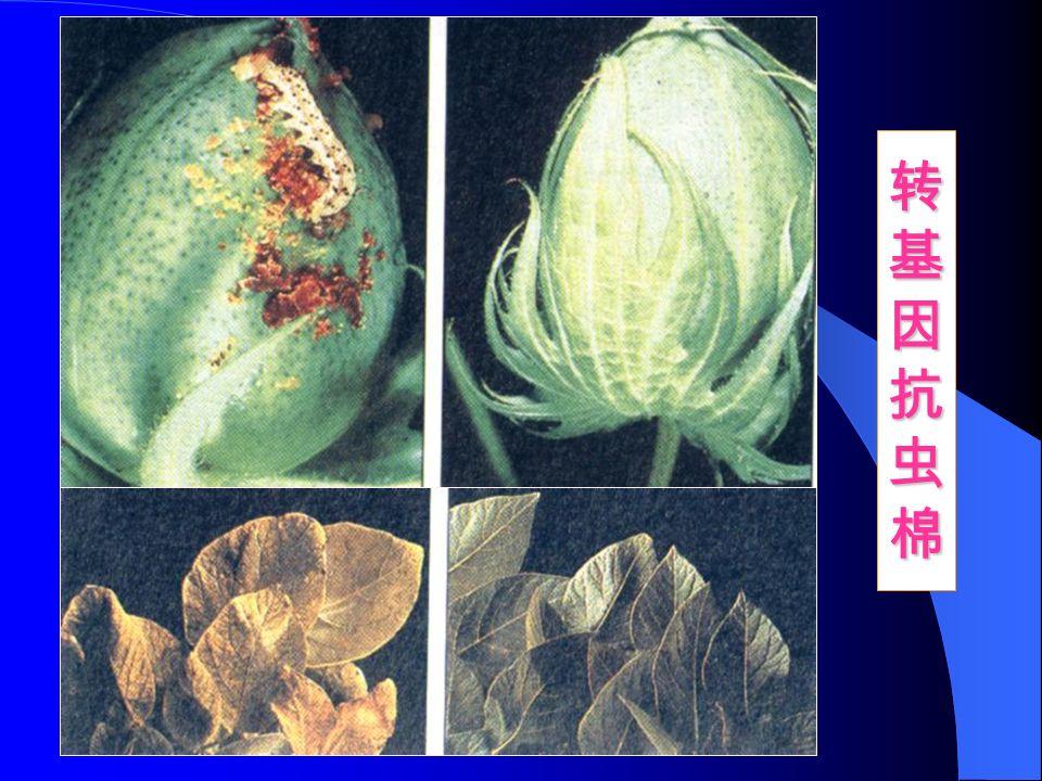 转基因抗虫棉转基因抗虫棉转基因抗虫棉转基因抗虫棉