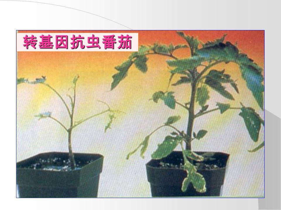 转基因抗虫番茄