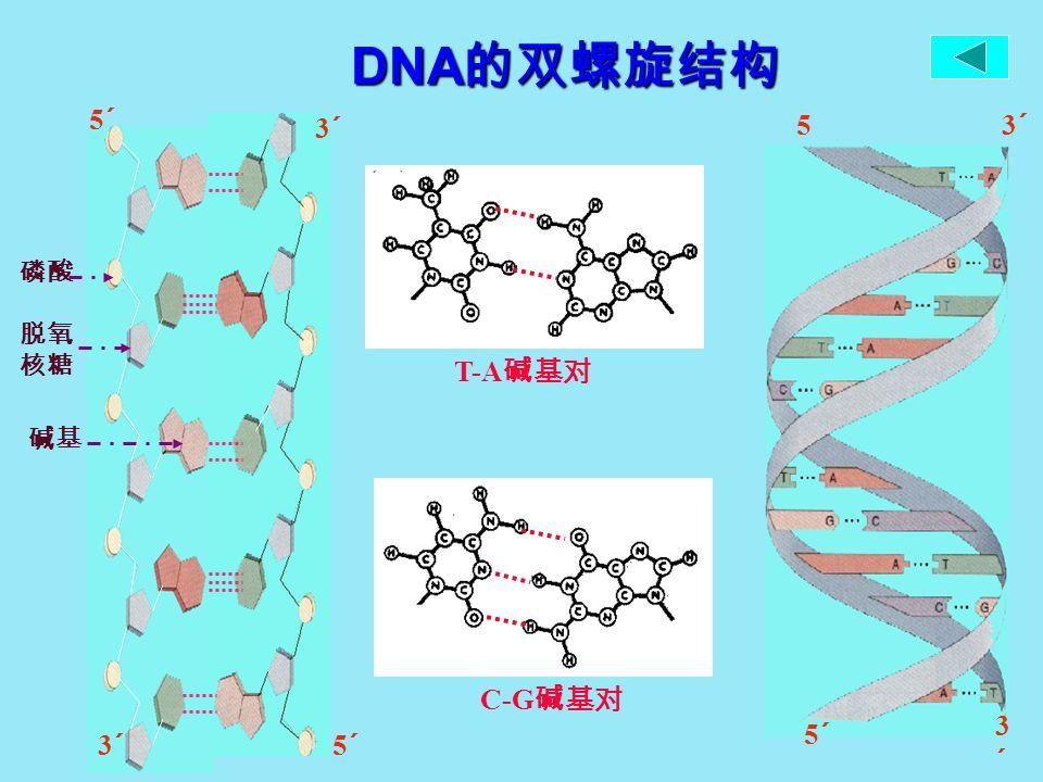 DNA 的双螺旋结构 5´5´ 3´3´ 5´5´ 3´3´ 5´5´ 3´3´ 5´5´ 3´3´ 磷酸 脱氧 核糖 碱基 T-A 碱基对 C-G 碱基对