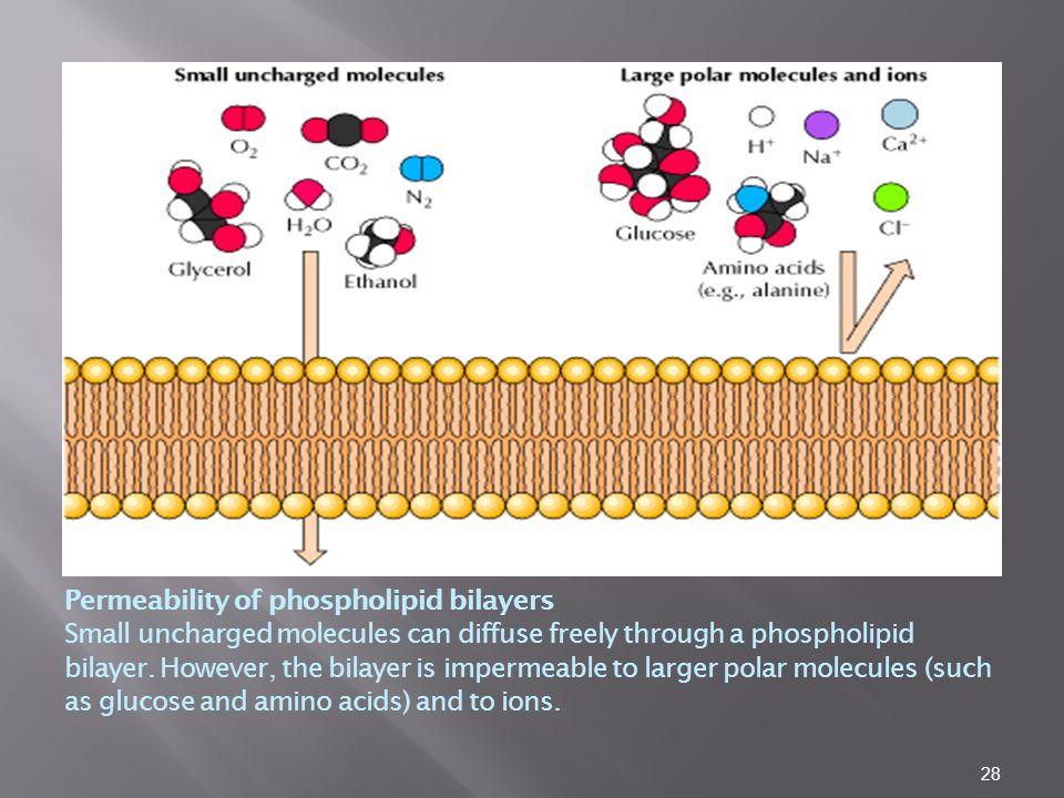 28 Permeability of phospholipid bilayers Small uncharged molecules can diffuse freely through a phospholipid bilayer.