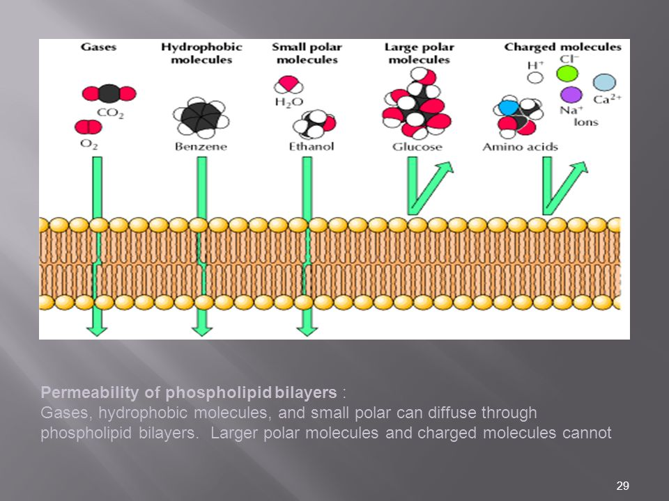 29 Permeability of phospholipid bilayers : Gases, hydrophobic molecules, and small polar can diffuse through phospholipid bilayers.