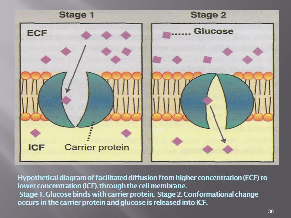 30 Hypothetical diagram of facilitated diffusion from higher concentration (ECF) to lower concentration (ICF).