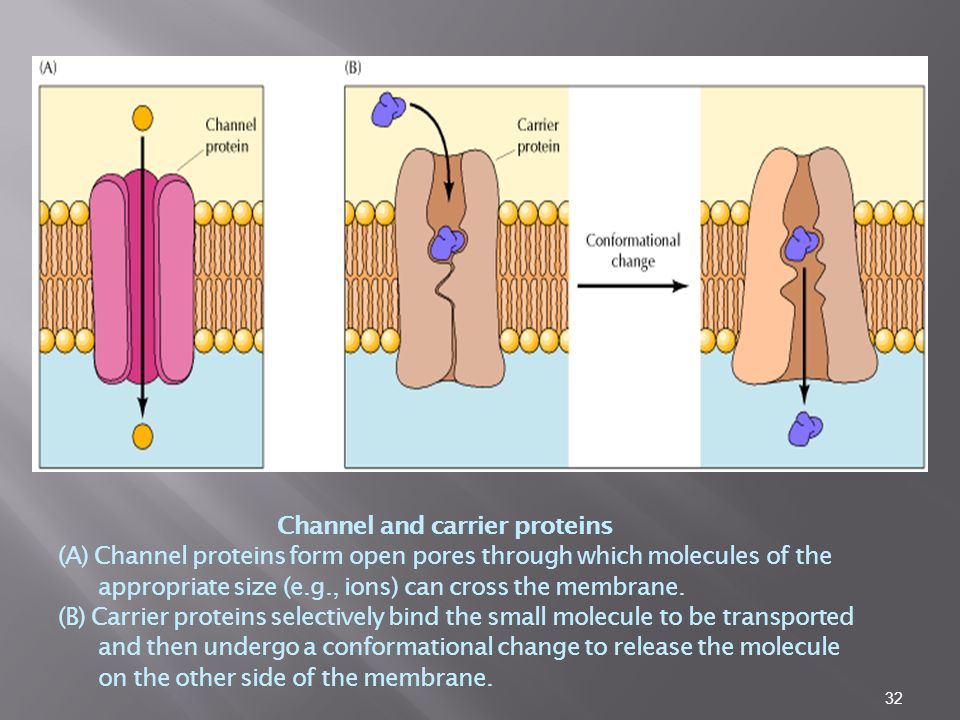 32 Channel and carrier proteins (A) Channel proteins form open pores through which molecules of the appropriate size (e.g., ions) can cross the membrane.