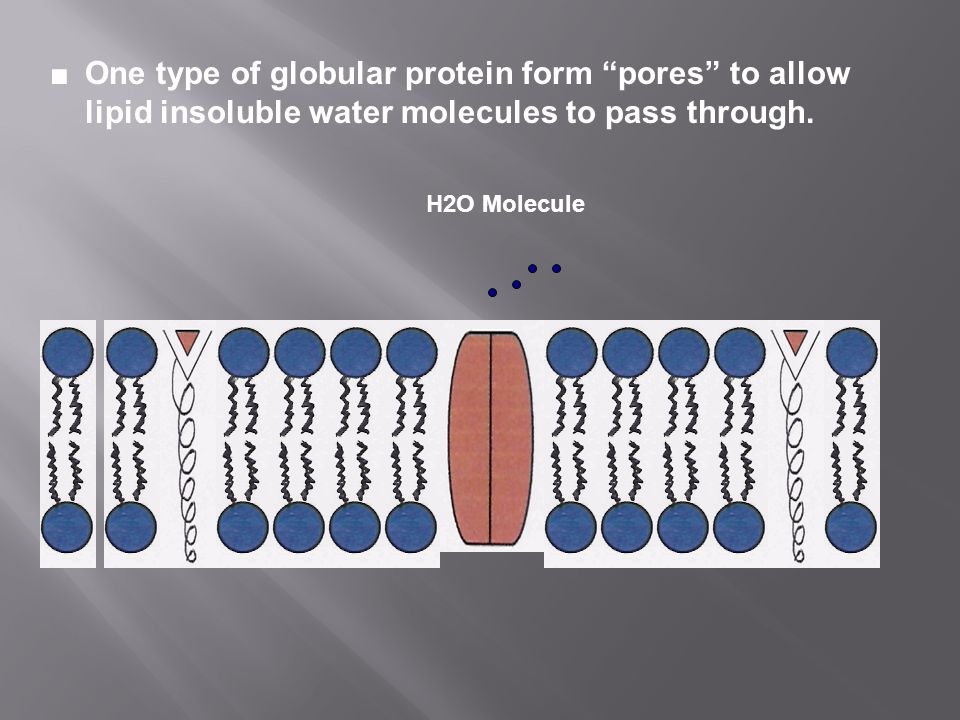 ■ One type of globular protein form pores to allow lipid insoluble water molecules to pass through.