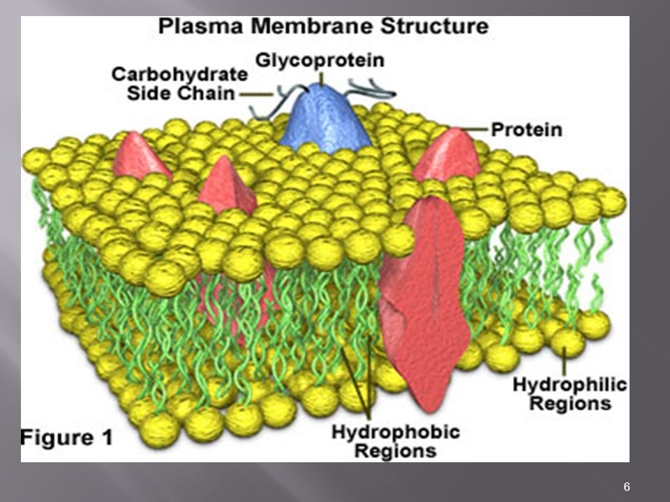 27 Mobility of phospholipids in a membrane Individual phospholipids can rotate and move laterally within a bilayer.