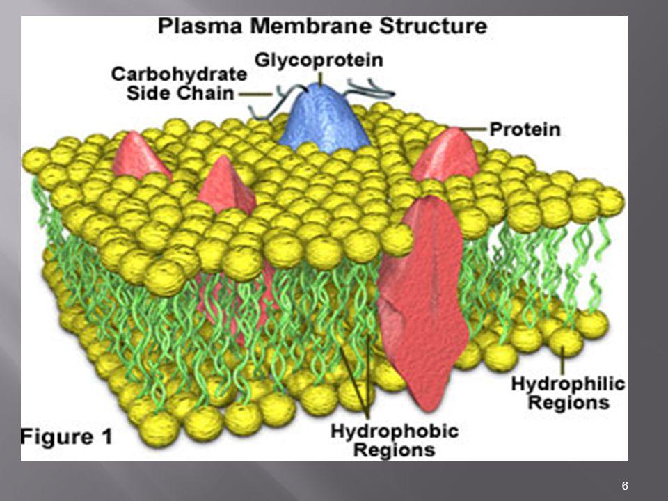7 Struktur membran Molekul protein – lemak penyusun membran