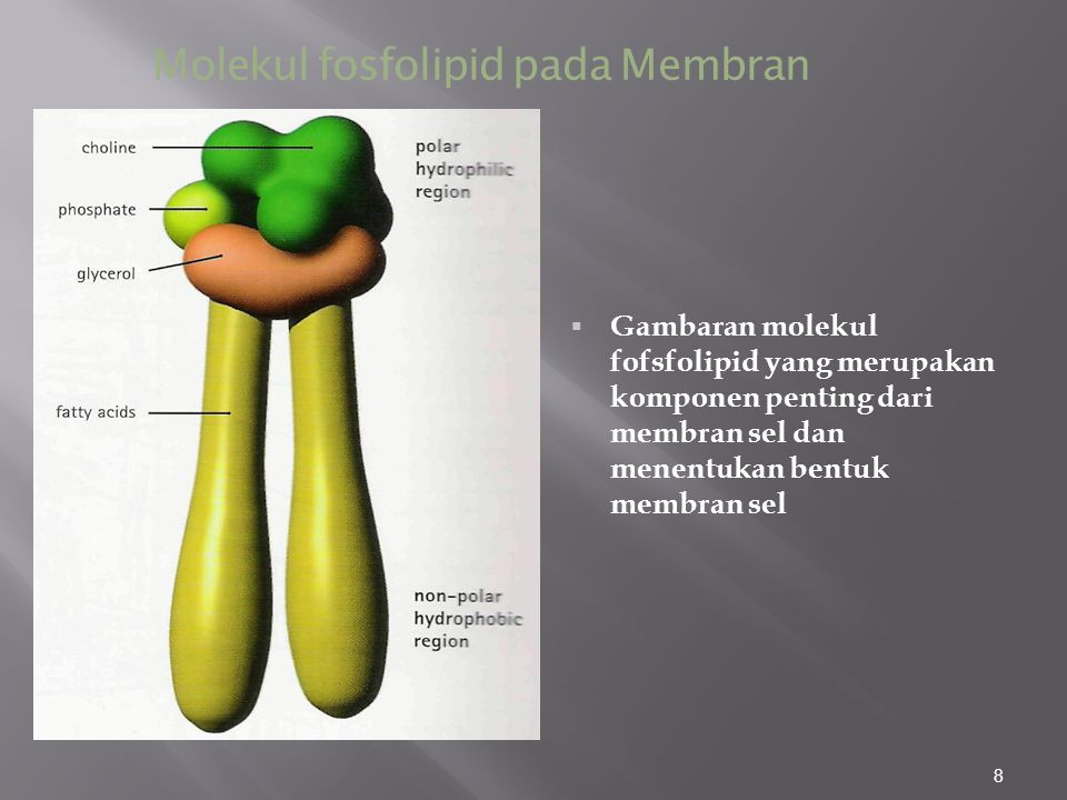 8 Molekul fosfolipid pada Membran  Gambaran molekul fofsfolipid yang merupakan komponen penting dari membran sel dan menentukan bentuk membran sel