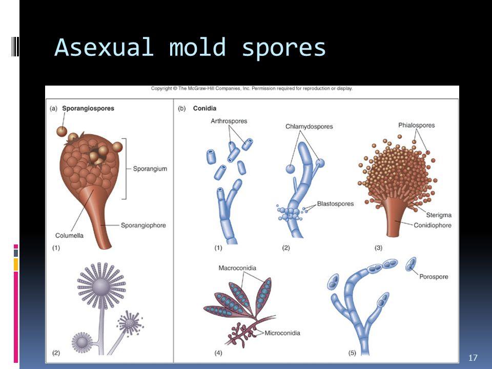Asexual mold spores 17