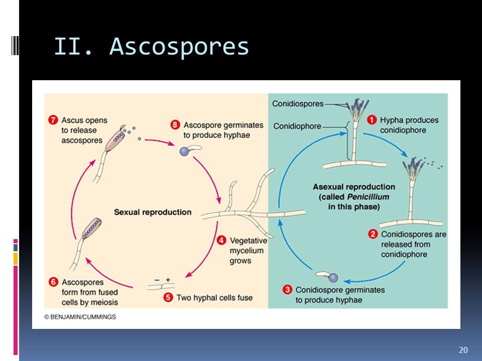 II. Ascospores 20