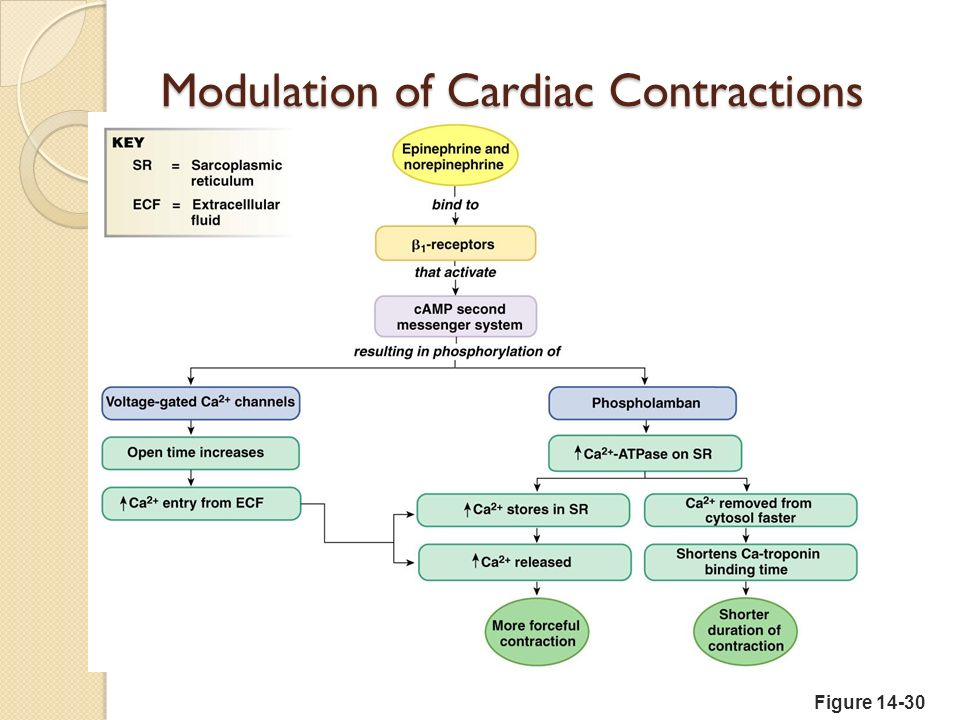 Extrinsic Factors Influencing SV Contractility is the increase in contractile strength, independent of stretch and EDV Increase in contractility comes