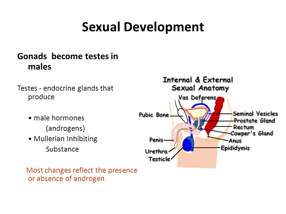 Sexual Development Gonads become testes in males Testes - endocrine glands that produce male hormones (androgens) Mullerian Inhibiting Substance Most