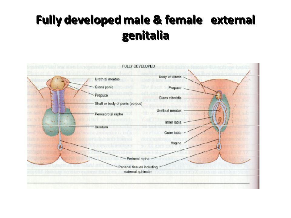 Fully developed male & female external genitalia