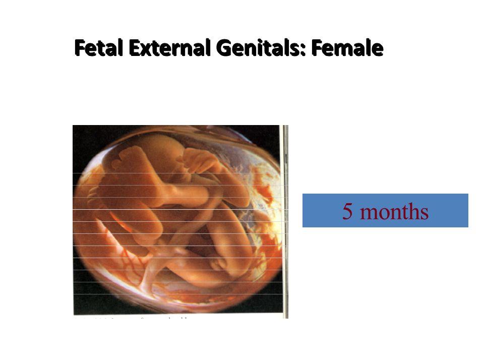 Fetal External Genitals: Female 5 months