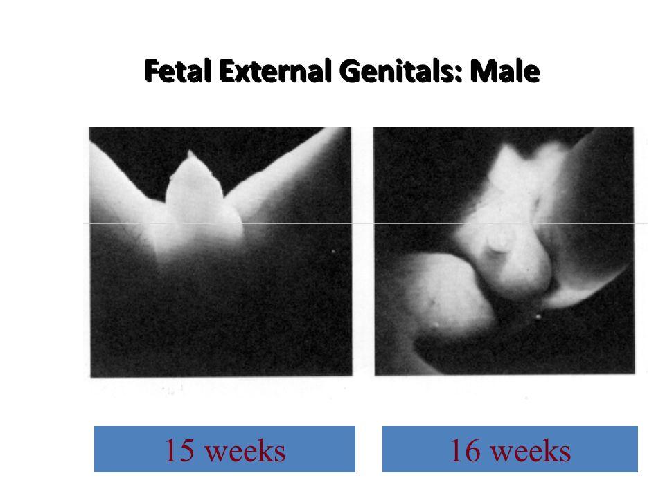 Fetal External Genitals: Male 15 weeks16 weeks