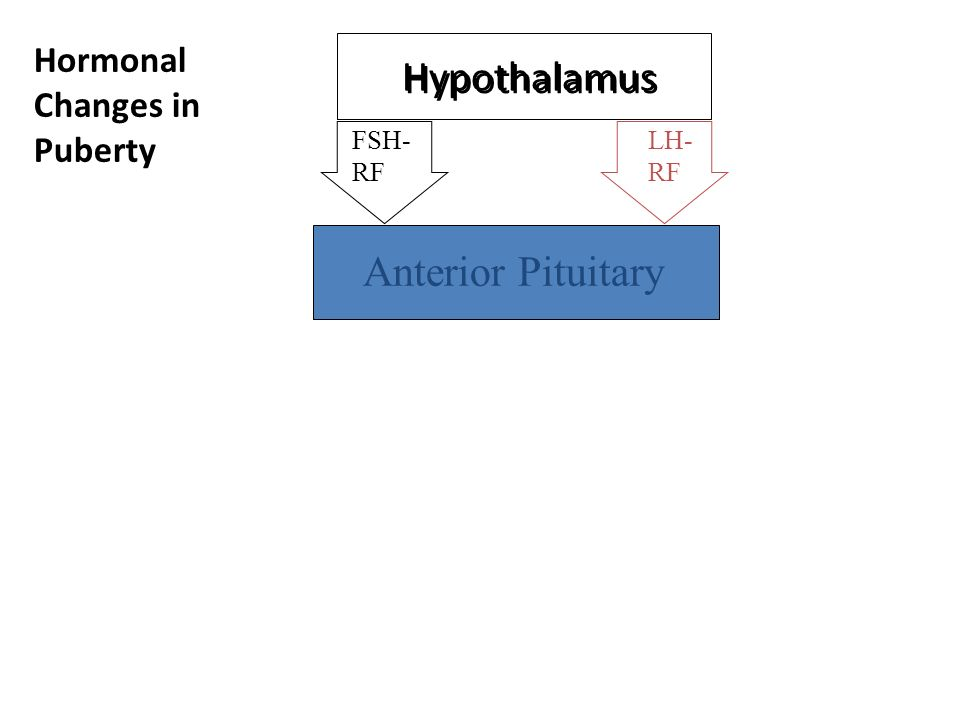Hypothalamus Anterior Pituitary FSH- RF LH- RF Hormonal Changes in Puberty