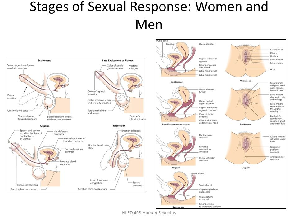 Stages of Sexual Response: Women and Men HLED 403 Human Sexuality
