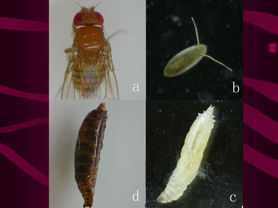 3. 果蝇生活史 完全变态 最适温度: 20-25 ℃ 25 ℃ 十天左右一个周期 成虫寿命 ~4 周 羽化后 12h 可交配 →2d 后产卵