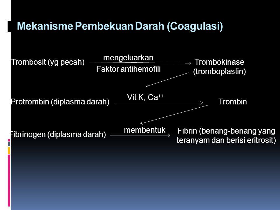 Mekanisme Pembekuan Darah (Coagulasi) Trombosit (yg pecah) mengeluarkan Faktor antihemofili Trombokinase (tromboplastin) Protrombin (diplasma darah) Vit K, Ca ++ Trombin Fibrinogen (diplasma darah) membentuk Fibrin (benang-benang yang teranyam dan berisi eritrosit)