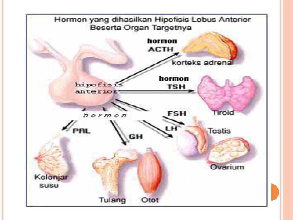 Hormon Yang Dihasilkan Hipofisis Lobus Anterior Beserta Organ Targetnya