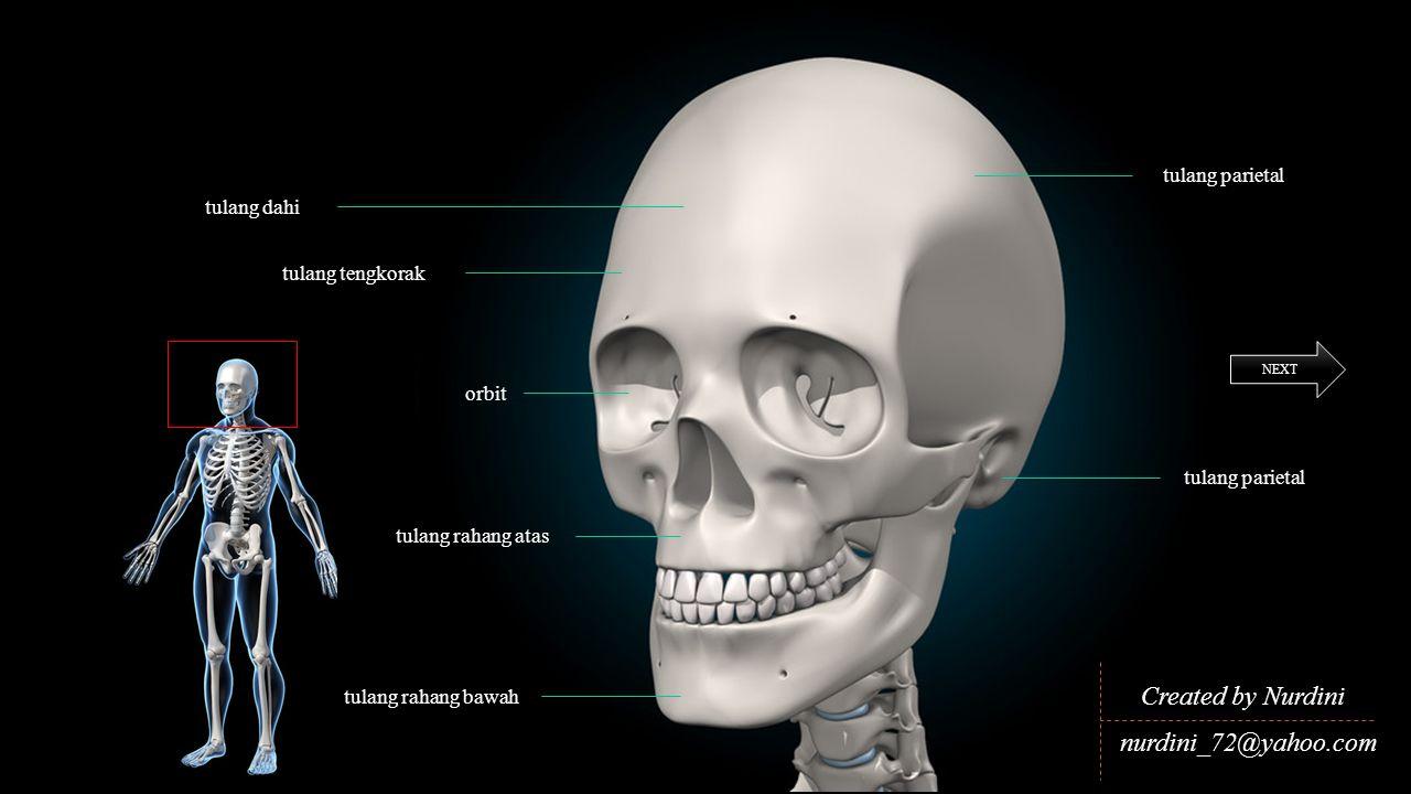 Created by Nurdini nurdini_72@yahoo.com NEXT tulang rahang atas tulang rahang bawah orbit tulang tengkorak tulang dahi tulang parietal