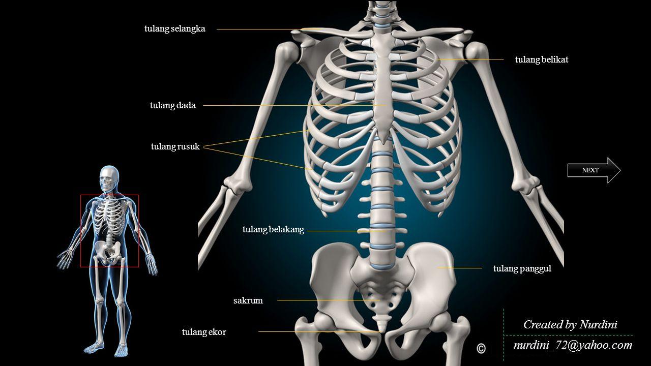 Created by Nurdini nurdini_72@yahoo.com NEXT tulang panggul tulang belikat tulang selangka tulang dada tulang belakang tulang ekor tulang rusuk sakrum