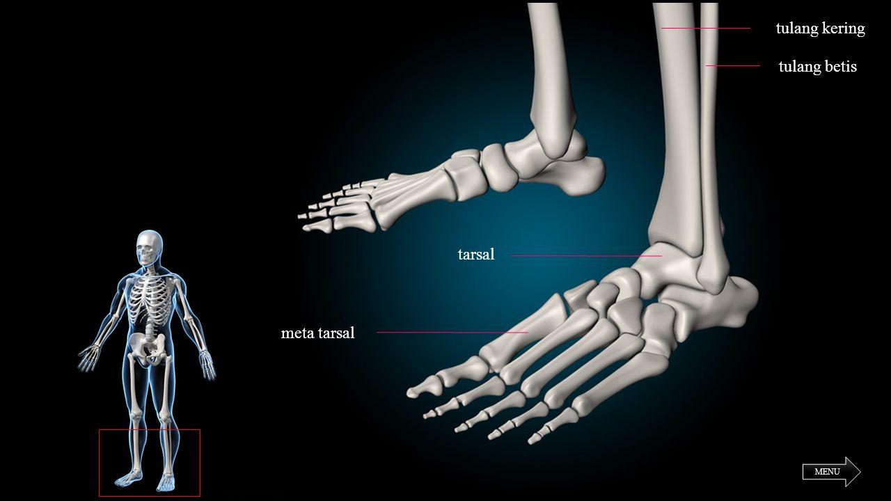 MENU tulang kering tulang betis meta tarsal tarsal