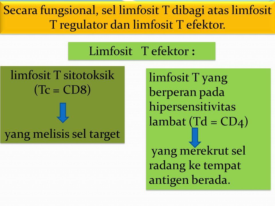 Secara fungsional, sel limfosit T dibagi atas limfosit T regulator dan limfosit T efektor. Limfosit T efektor : limfosit T yang berperan pada hipersen