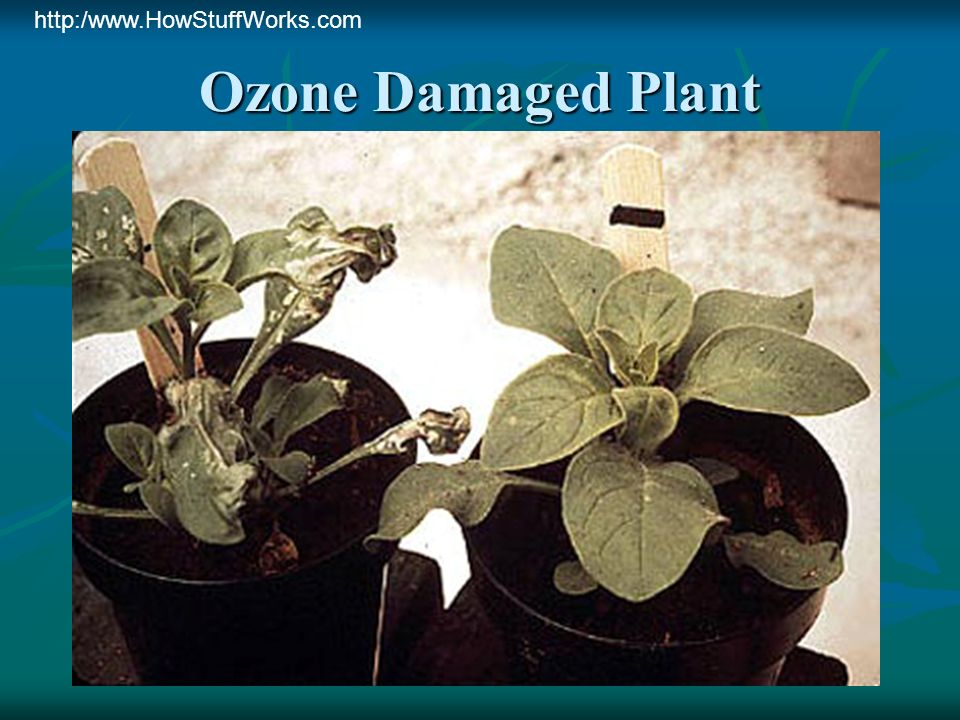 Ozone Damaged Plant http:/www.HowStuffWorks.com