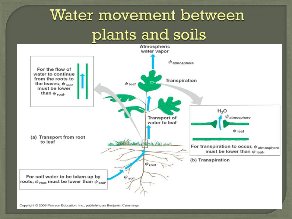 the continual flow of water from the soil, into the roots, up the stem to the leaves, and out of the leaves through the stomata Water moving between soil and plants flows down a water potential gradient