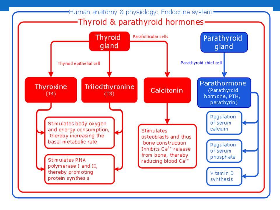 penyakit graves: penyakit tiroid autoimun di mana antibodi merangsang sel-sel untuk menghasilkan hormon yang berlebihan