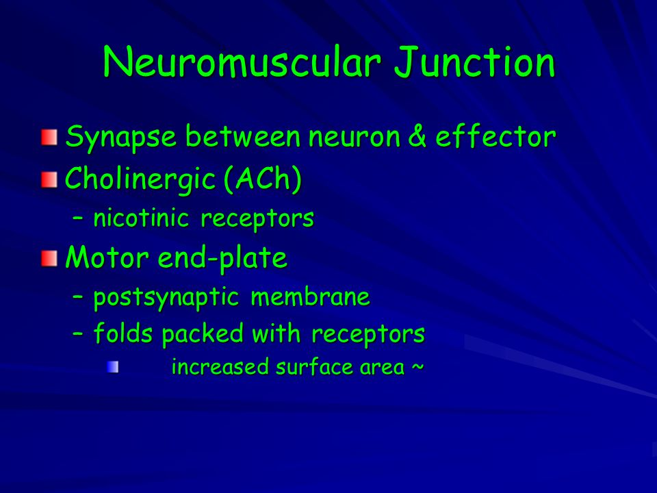 Neuromuscular Junction Synapse between neuron & effector Cholinergic (ACh) –nicotinic receptors Motor end-plate –postsynaptic membrane –folds packed with receptors increased surface area ~