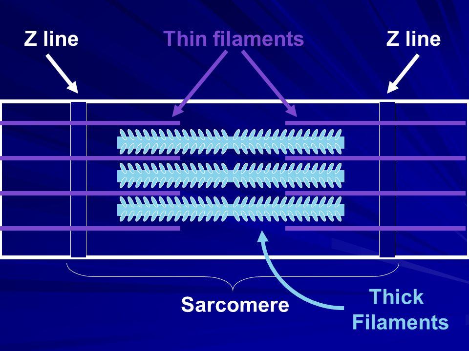 Sarcomere Z line Thin filaments Thick Filaments